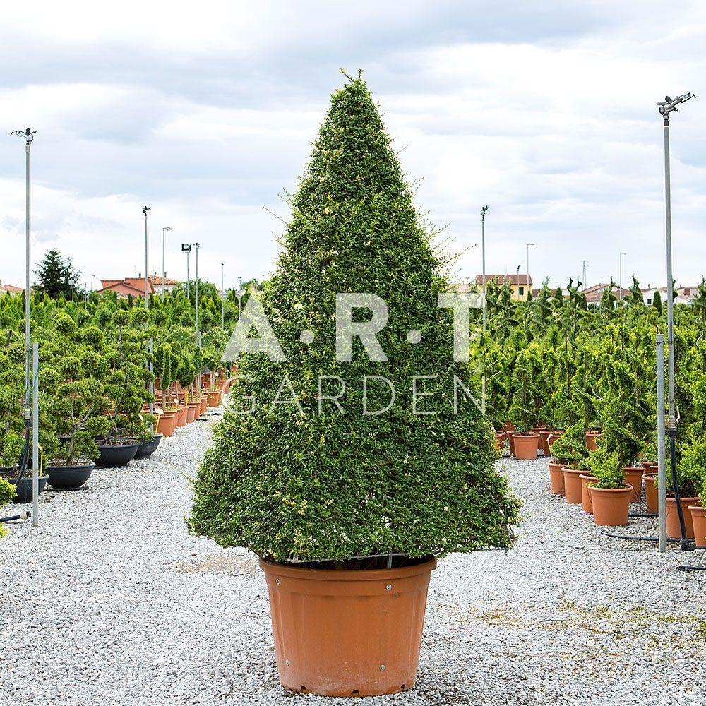 ART TOPIAIRE LIGUSTRUM CONE XXL TAILLE 280/300 CONTAINER 230 L | Art ...