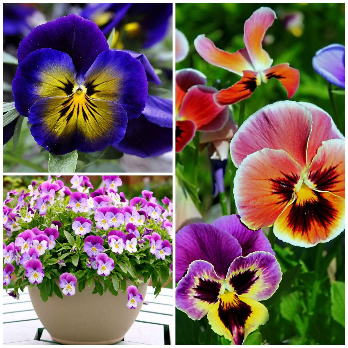 Самые весенние цветы - анютины глазки
