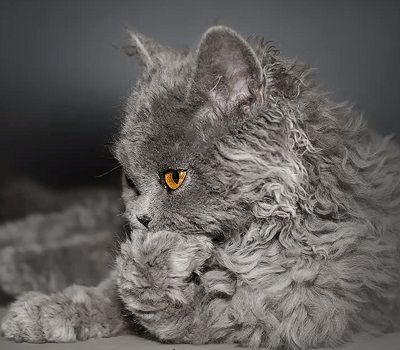 These Poodle Cats Are So Curly You Ll Squeal With Delight When You