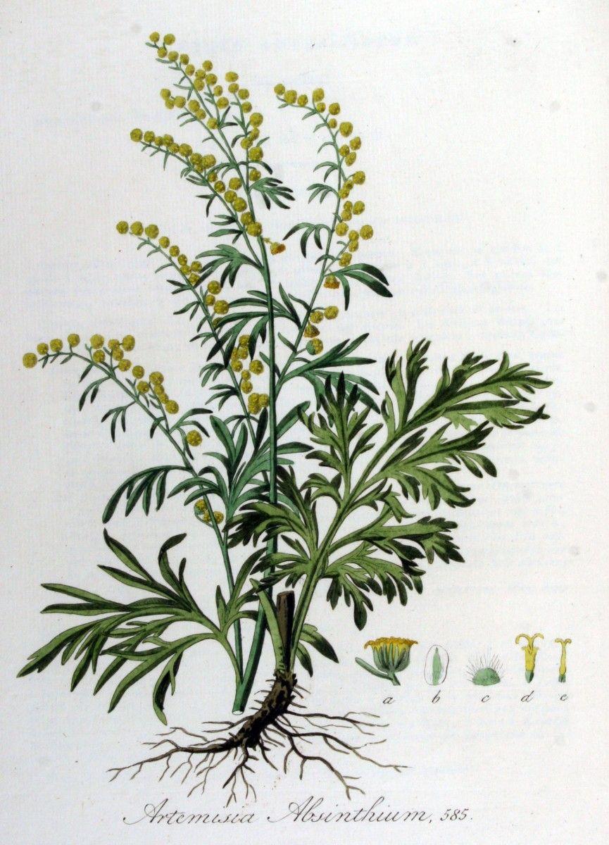 Pelin Artemisia Absinthium Artemisia Absinthium Botanical