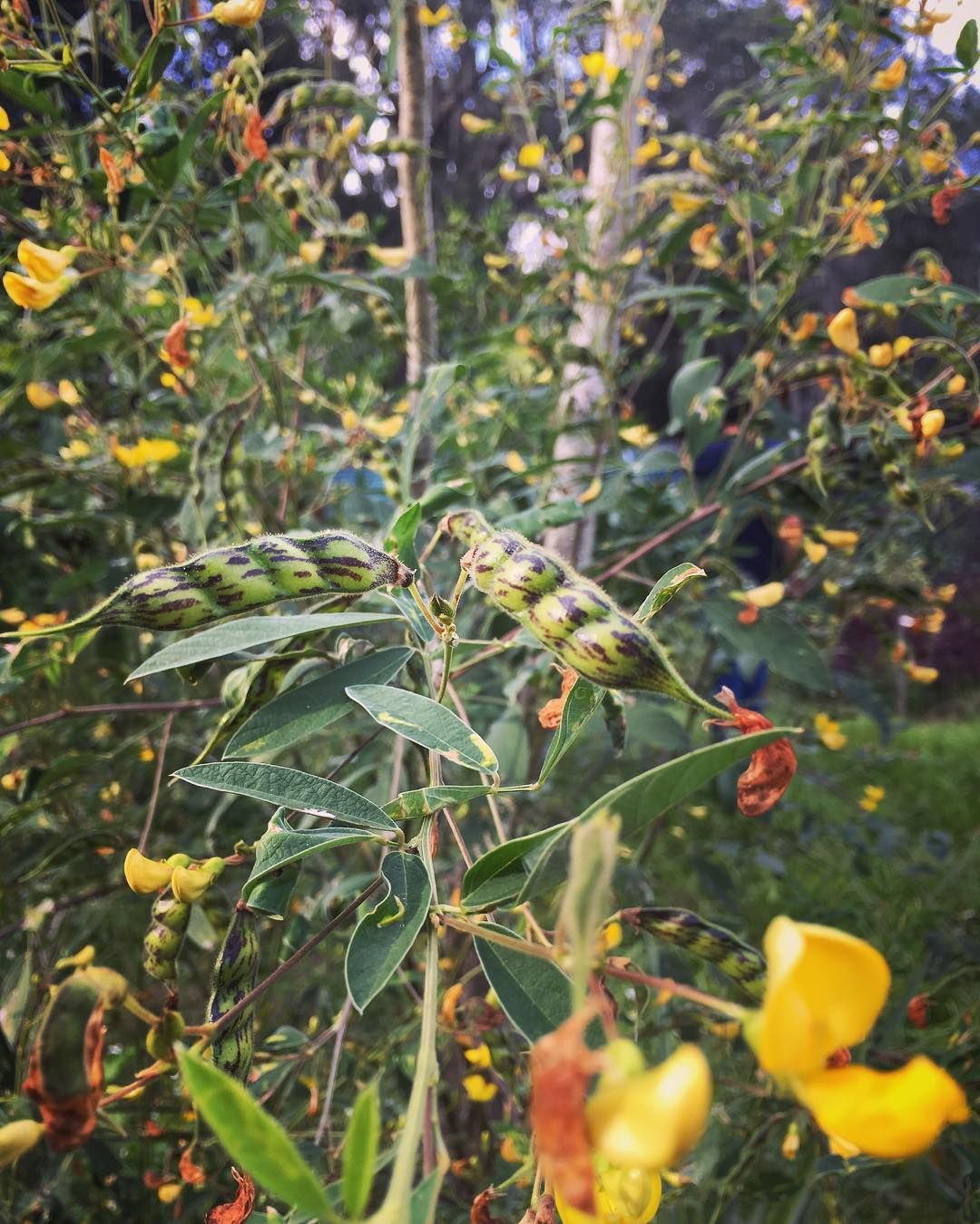 The Pigeon Pea Tree Is Ablaze With These Gorgeous Bright Yellow