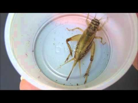 A Quick Guide To Cricket Breeding Youtube Pet Lizards Meal Worms Cricket