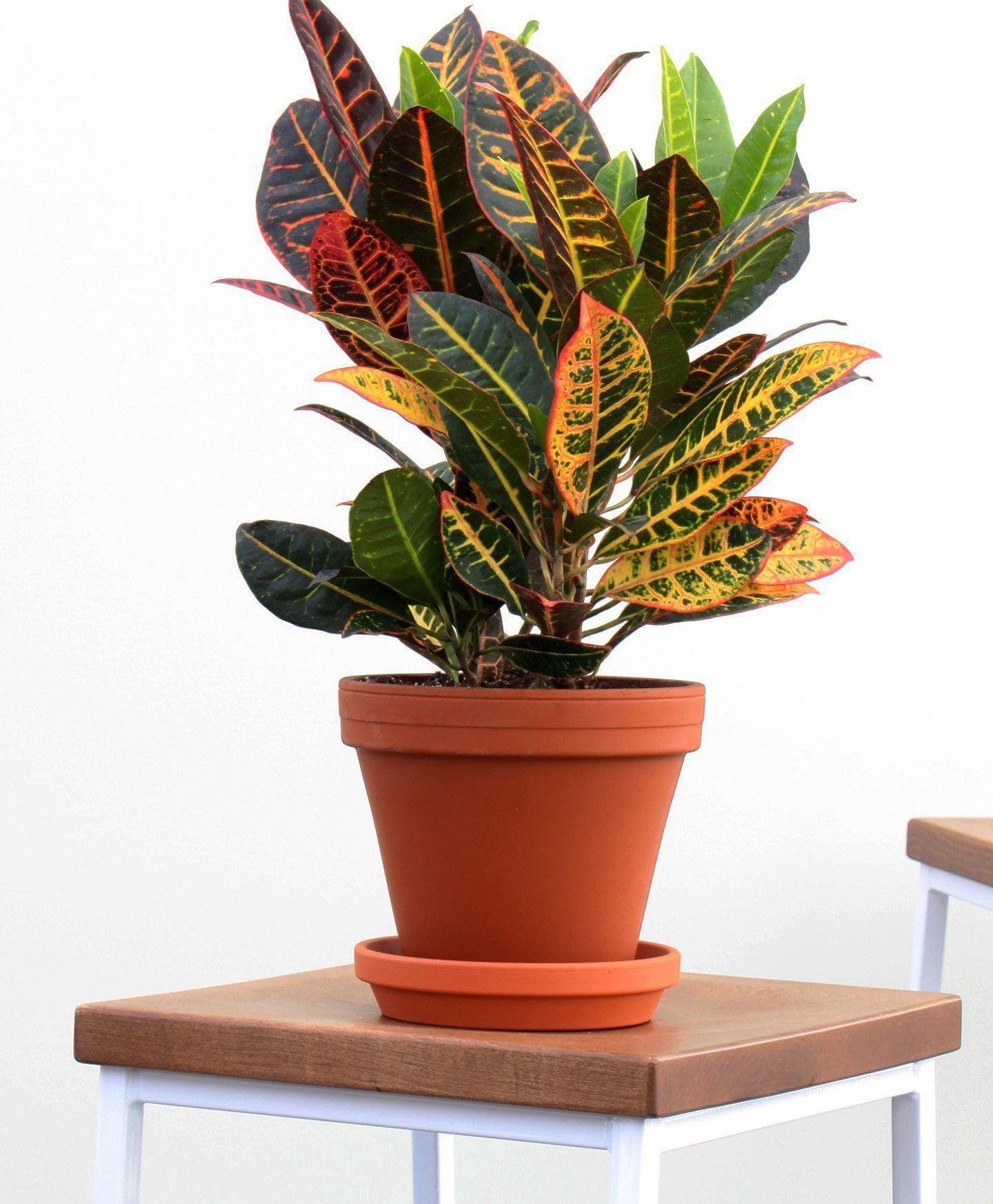 Buy Croton Petra Indoor Plant, 8 Inch Terra Cotta Pot For