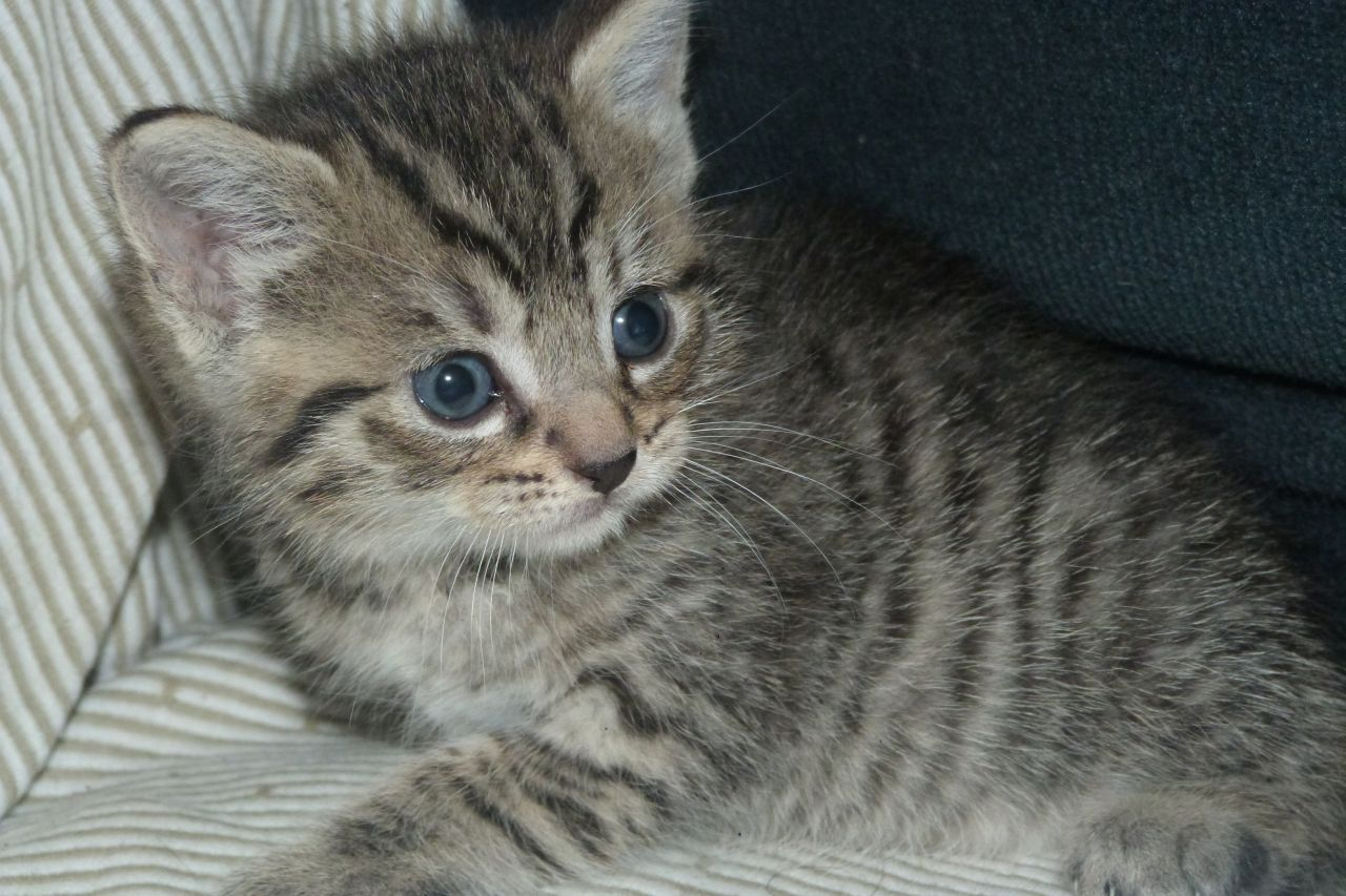 Adorable Grey Brown Stripy Tabby Kitten For Sale Grey Tabby