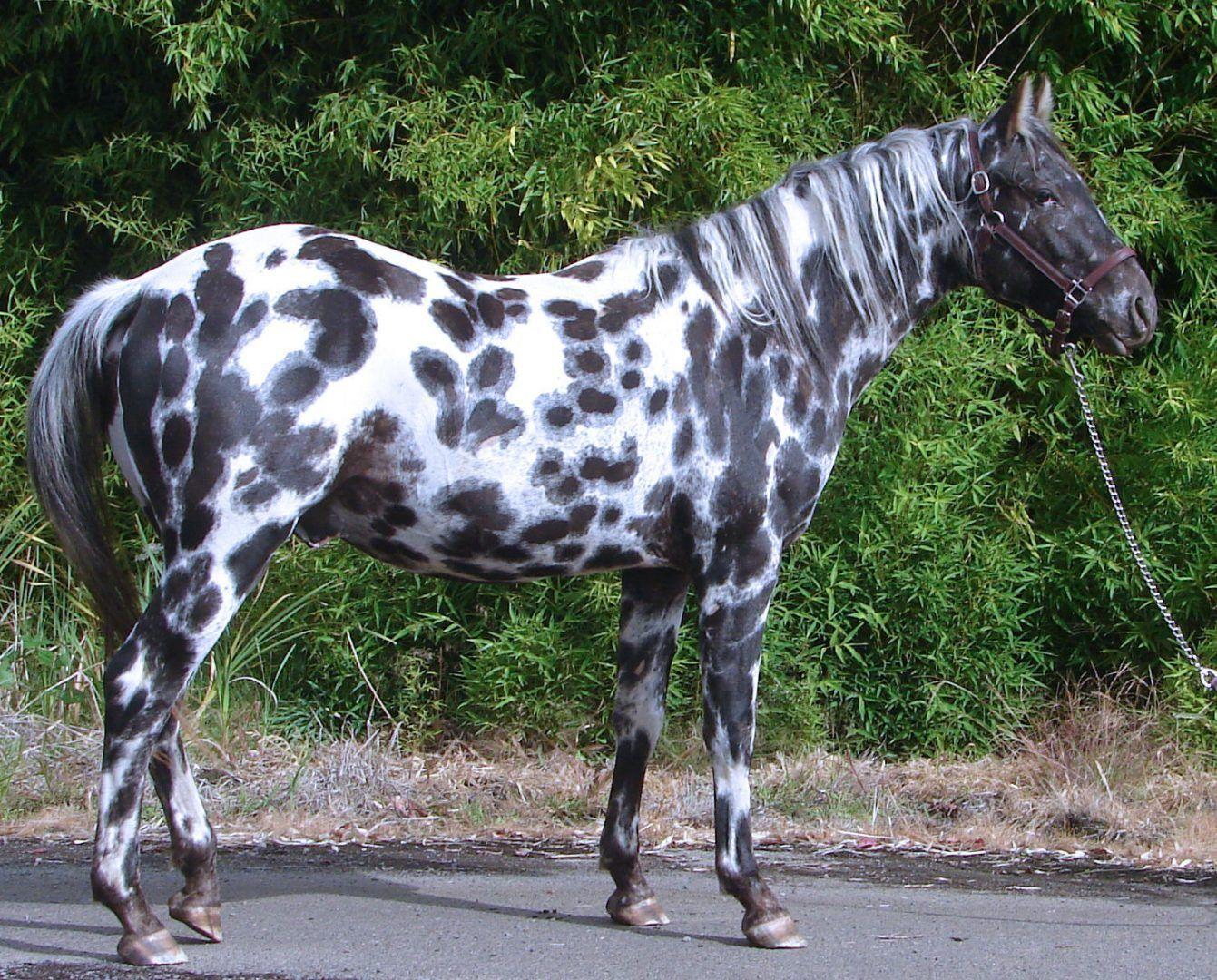 Pin De Maria Cardoso Em Chevaux Cavalos Appaloosa Appaloosa Cavalos