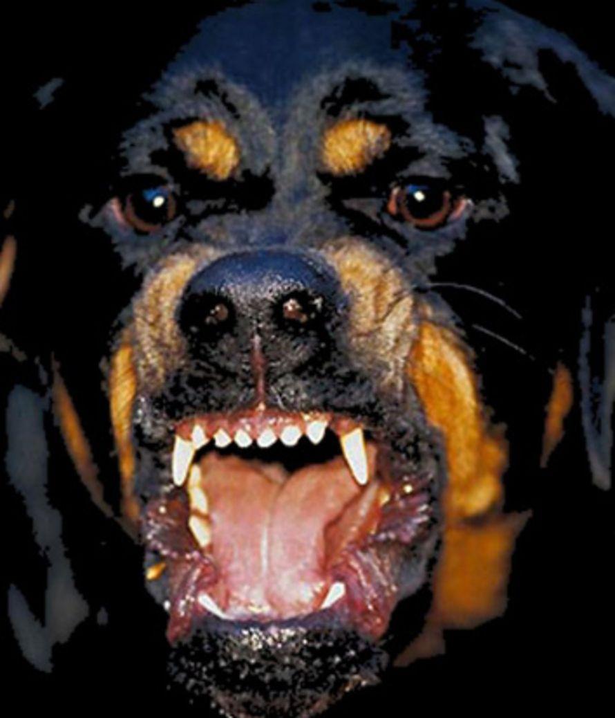 Animal Rottweiler Dog Scary Dogs Rottweiler