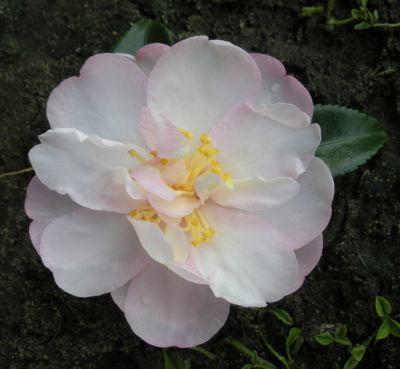 Fairy Floss Marian Grove Flowers Camellia Garden Beds