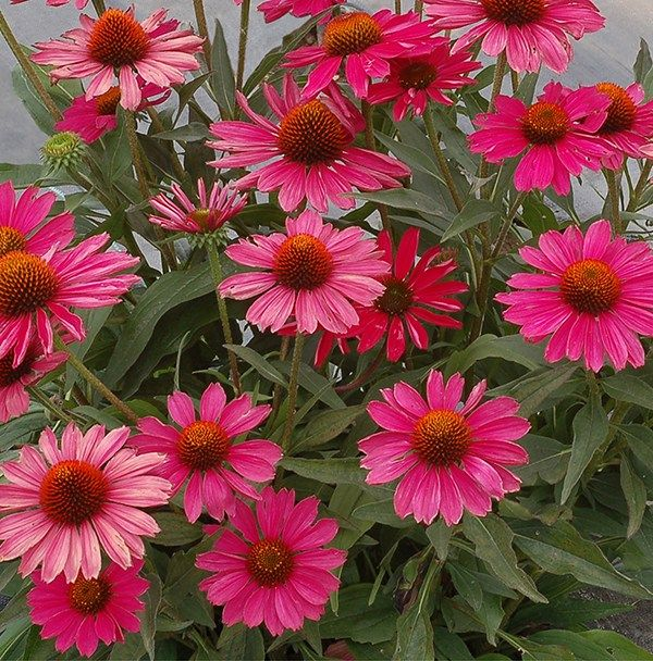 New Plants For 2020 Gardens Eye Catching Annuals And Perennials