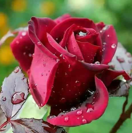 Pin Oleh Anggita Arum Di Yang Saya Simpan Di 2020 Bunga Mawar Mawar Cantik