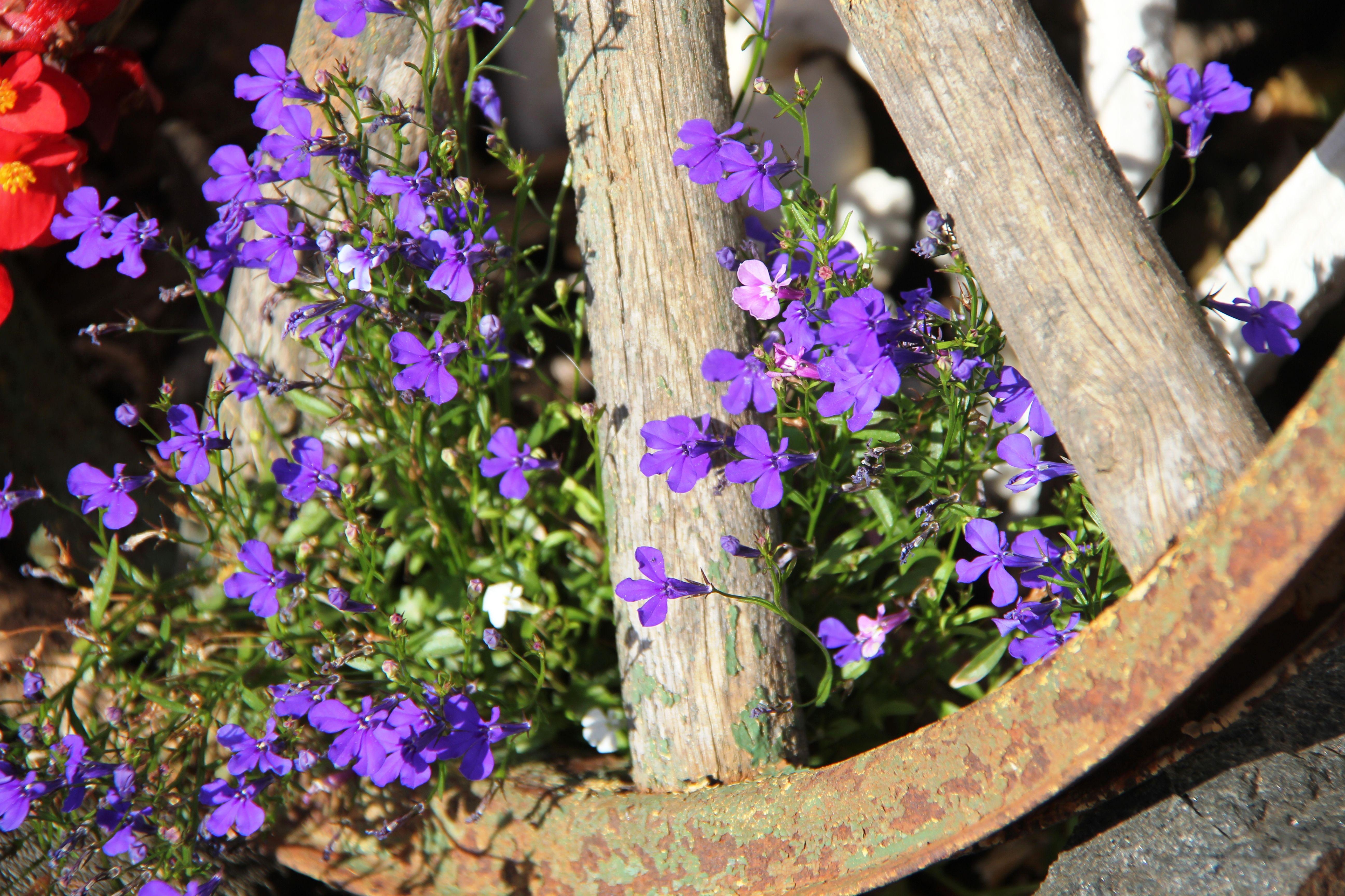 Wagon Wheel,my garden