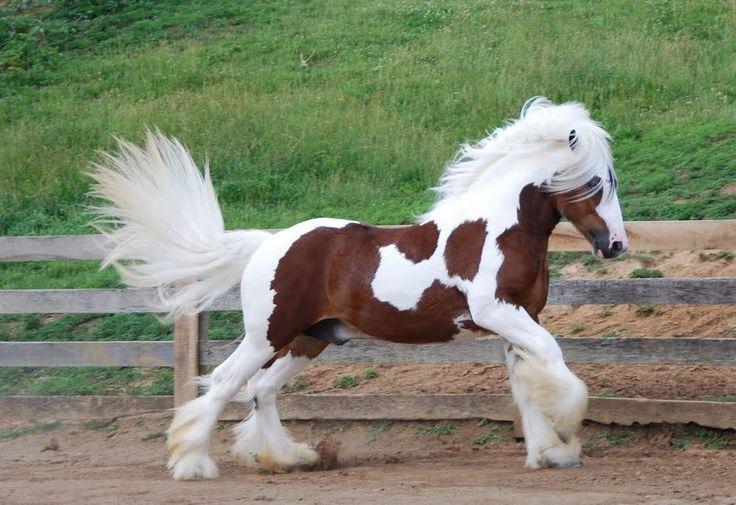 #horses Tristan | Gypsy Vanner Stallion