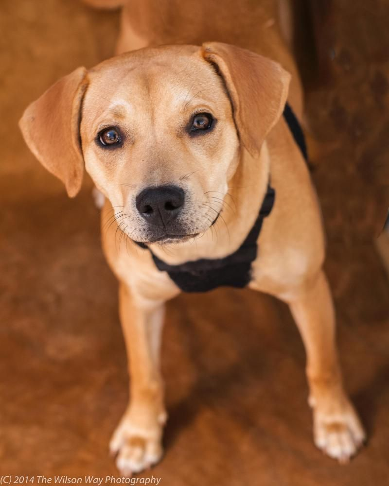 Adopt Clarrisa on Beagle mix, Labrador, Beagle