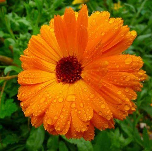 Daftar Nama Bunga Gambar Bunga Cantik Indah Unik Dan Langka Lengkap Dengan Penjelasannya Kumpulan Macam Macam Bunga Hias Bunga Tanaman Asli Gambar Bunga