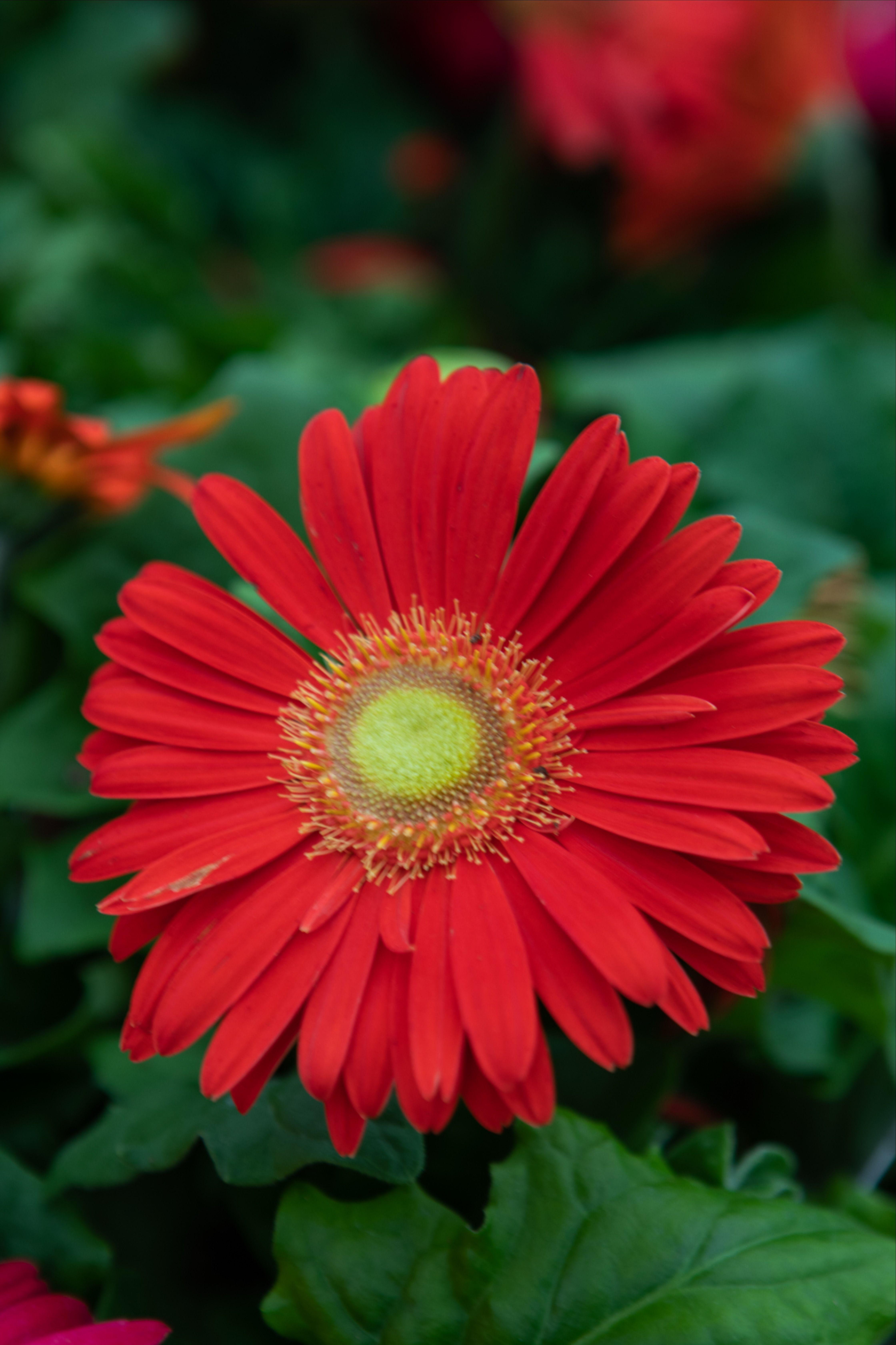 Gerbera Daisy In 2020 Spring Plants Showy Flowers Plants