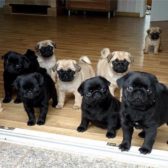 All I Want For Christmas Is Pugs Baby Pugs Pug Puppies Cute Pugs