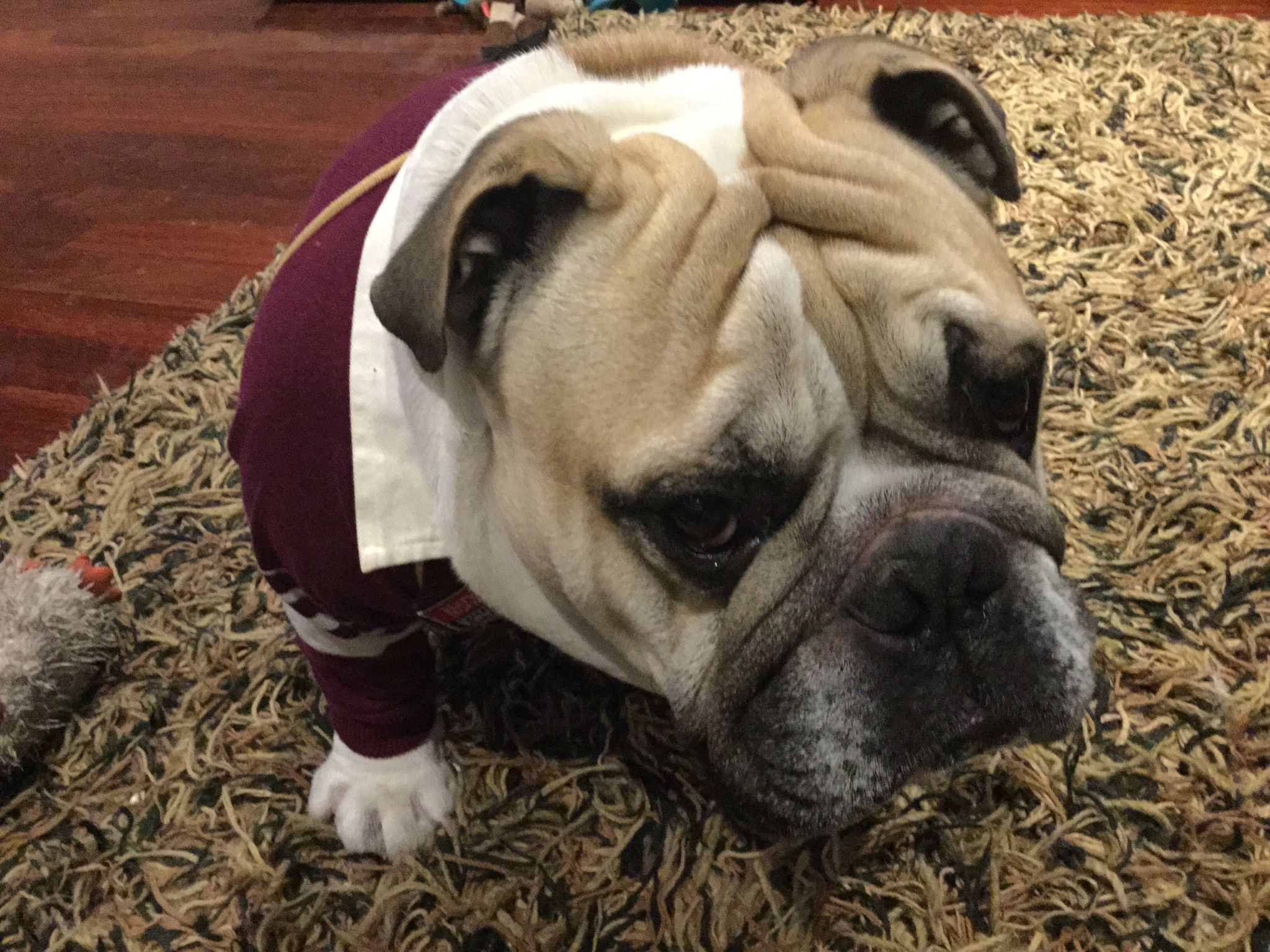 Stan Oh So Sad In His Qld Rugby League Jersey British Bulldogs