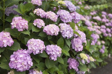 Hydrangea September Flowers Flowers Hydrangea Flowers Plants