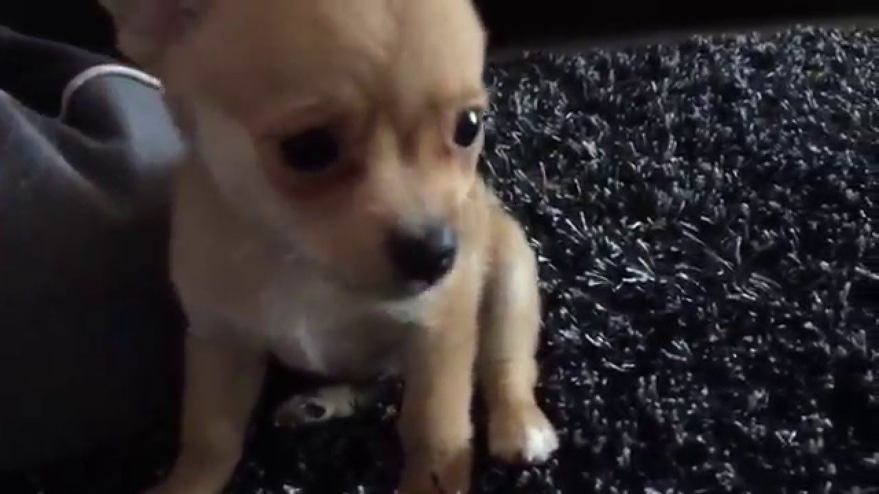 Kylo The Pomchi Playing Pomchi Puppies Puppy Friends Puppies