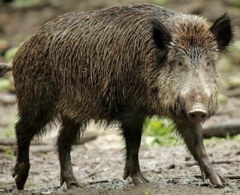 Inspirational  berraschungsgast in Lobitzsch Was machte das Wildschwein im Swimmingpool
