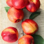 Sunglo Nectarine Trees For Sale Fastgrowingtrees Com