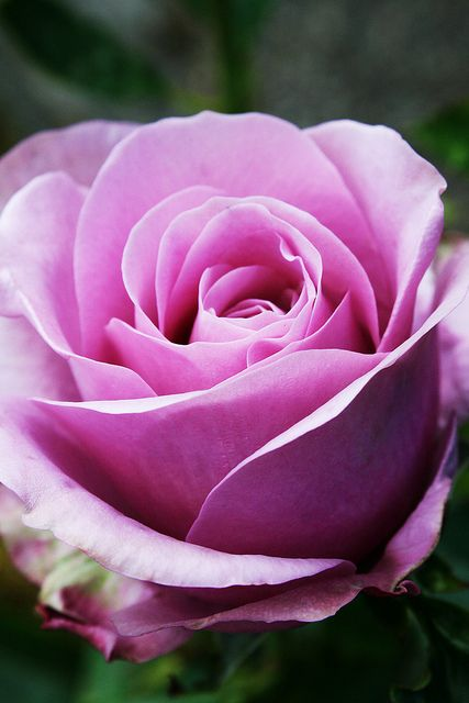 Pink rose ~ 070om by Pia´s Garden* http://vienthammymilan.com/