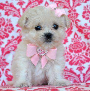 Tiny Cream Peekapoo Princess 17 Oz At 8 Weeks Adorable Baby Doll
