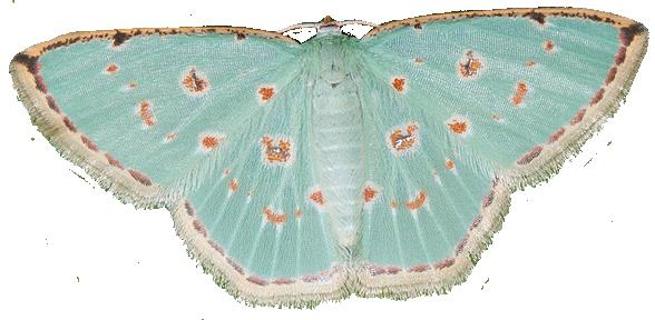 Comostola Laesaria Motte Bienen