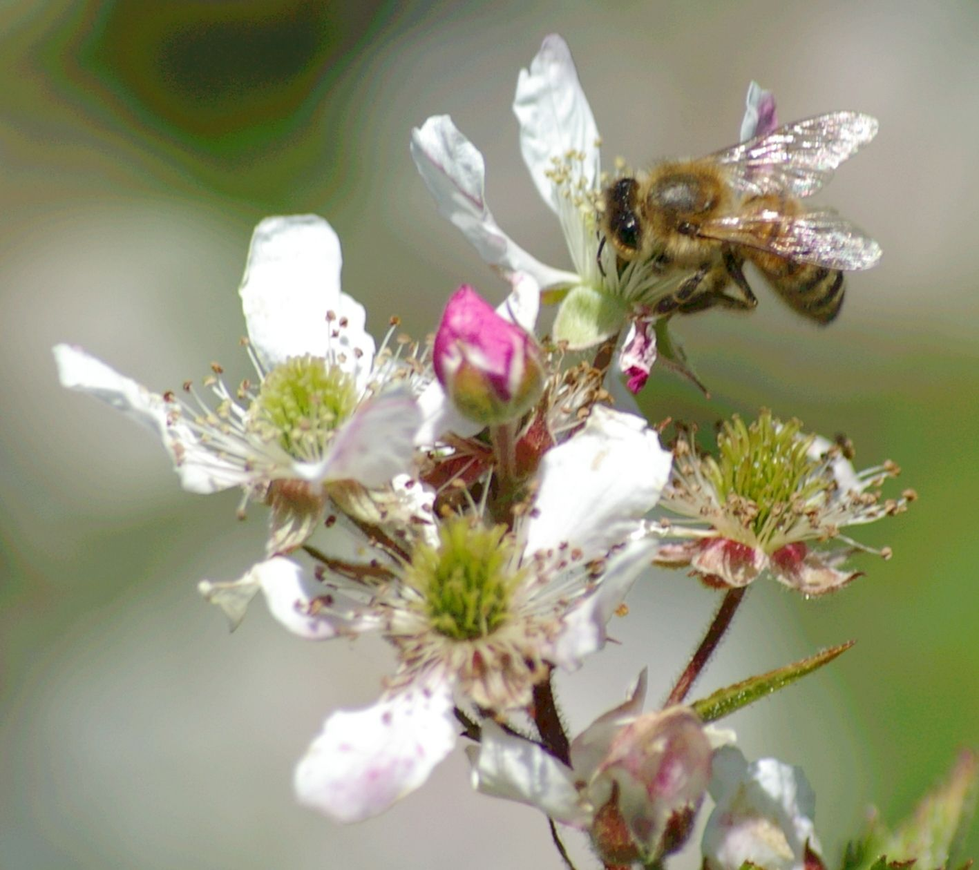 blackberry blossom flower Blossom flower, Bee, Flowers