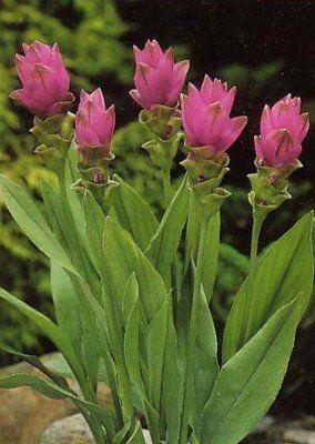 Siam Tulip Ginger Plant (Curcuma alismatifolia) Must be