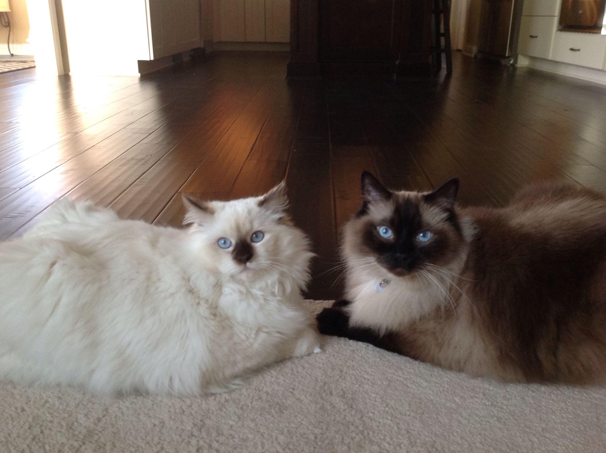 Ryker 3 Yrs Seal Point And Rowan 8 Mos Chocolate Mitted Ragdolls Ragdoll Cat Ragdoll Cat Breed Cats