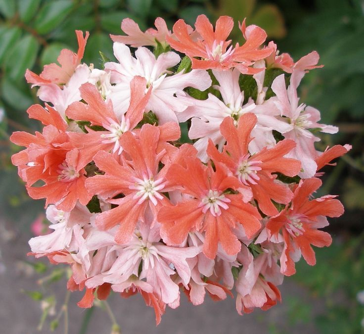 Lychnis chalcedonica 'Dusky Salmon' Flowers perennials