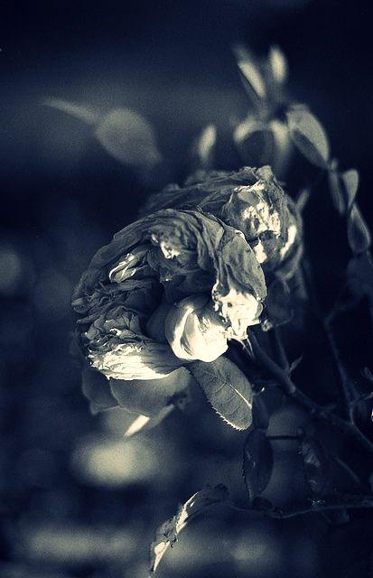 Roses - Rosana Raven ☥~