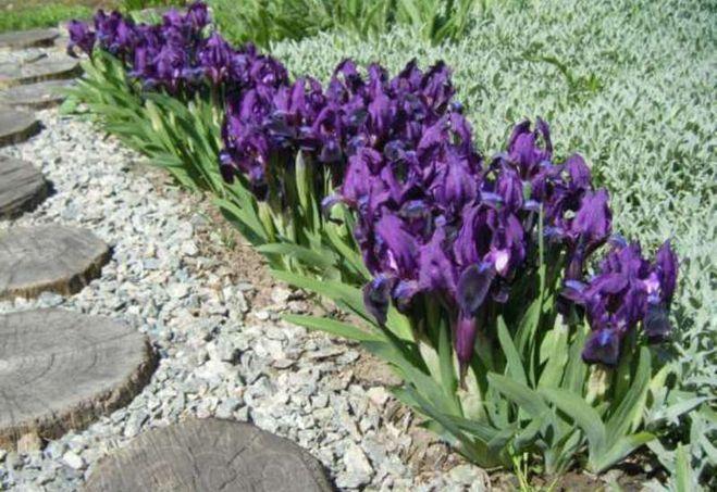 Бордюрные цветы многолетние + фото и название | Цветы ...