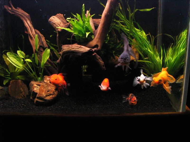 Beautiful goldfish tank aquarium envy pinterest for Aquarium decoration for goldfish