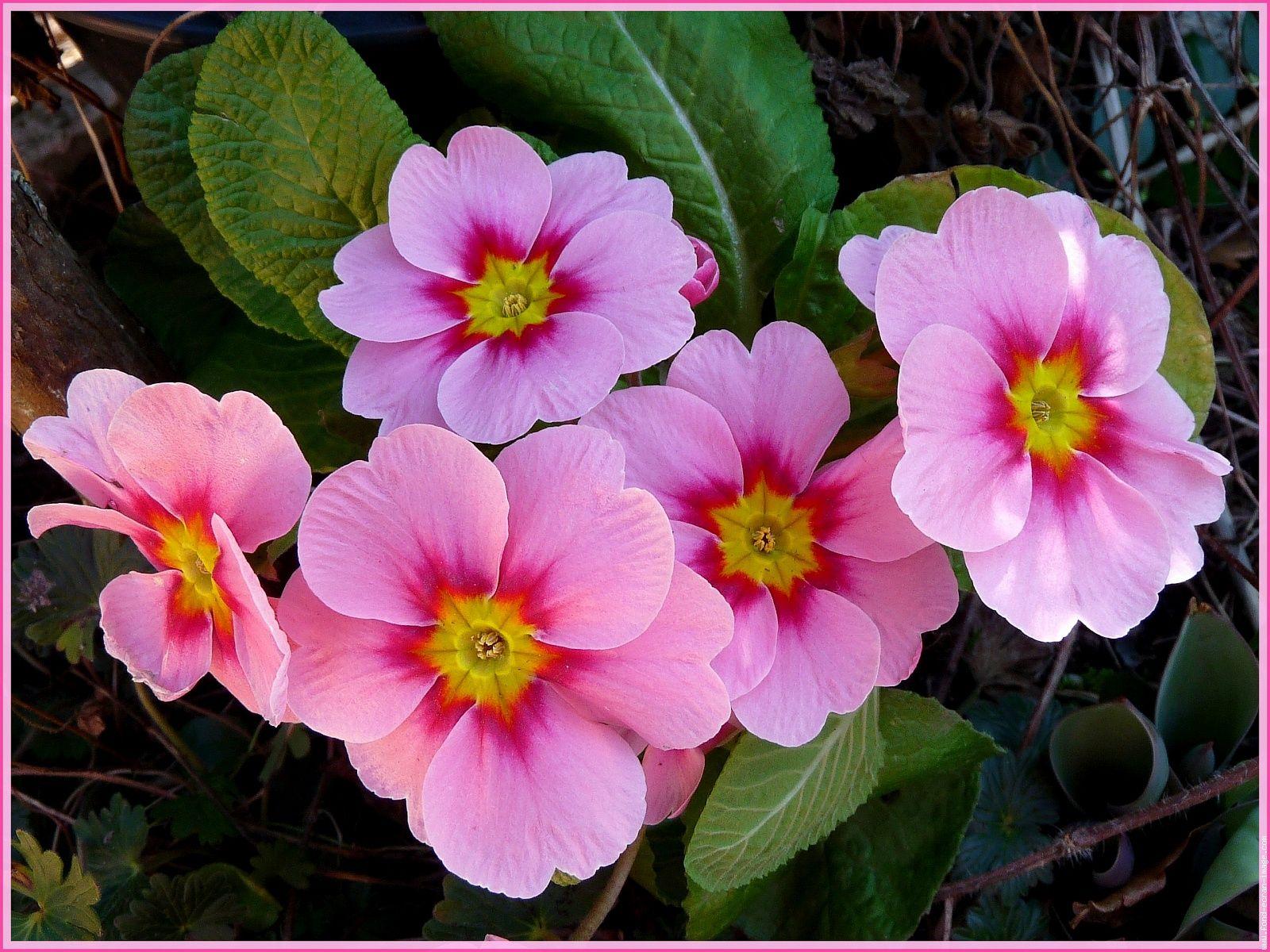primev res vivaces pinterest primev res couleur rose et plantes de jardin. Black Bedroom Furniture Sets. Home Design Ideas