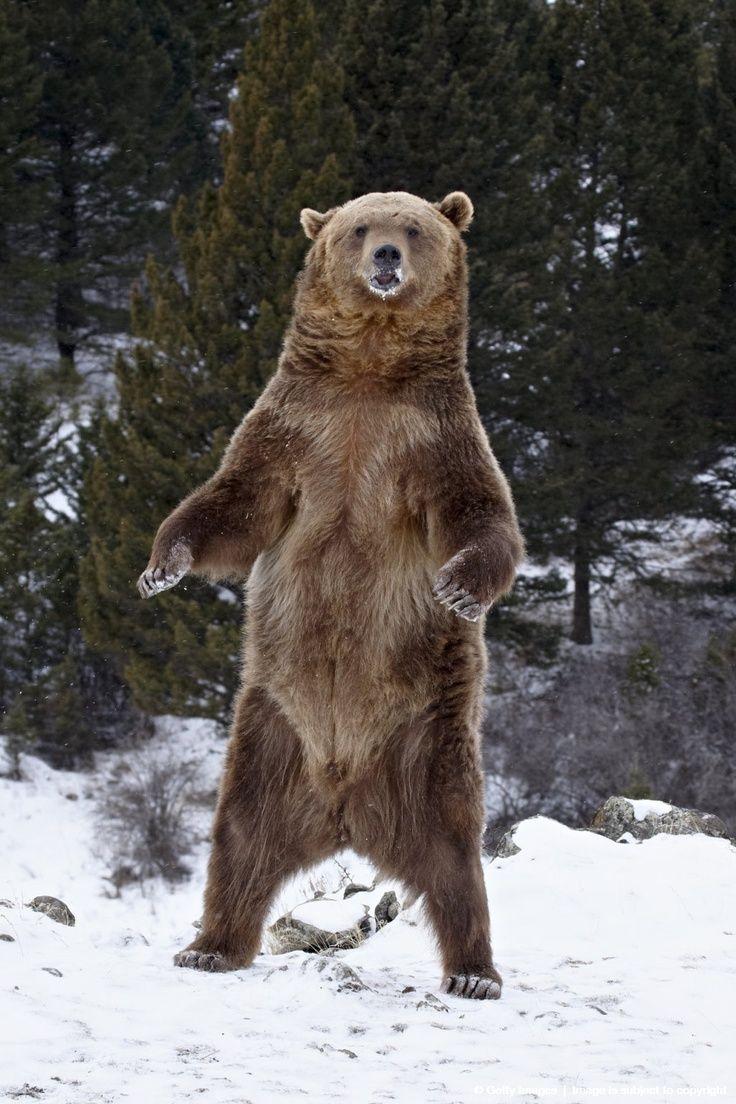 Grizzly Bear Roaring | Bears | Pinterest