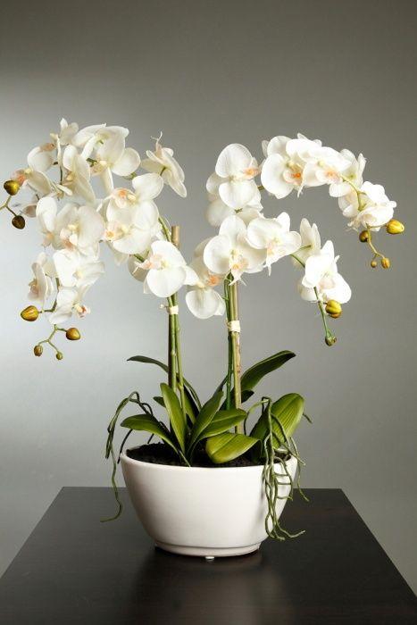 orquideas blancas Flores frutas jardins cuidados as plantas
