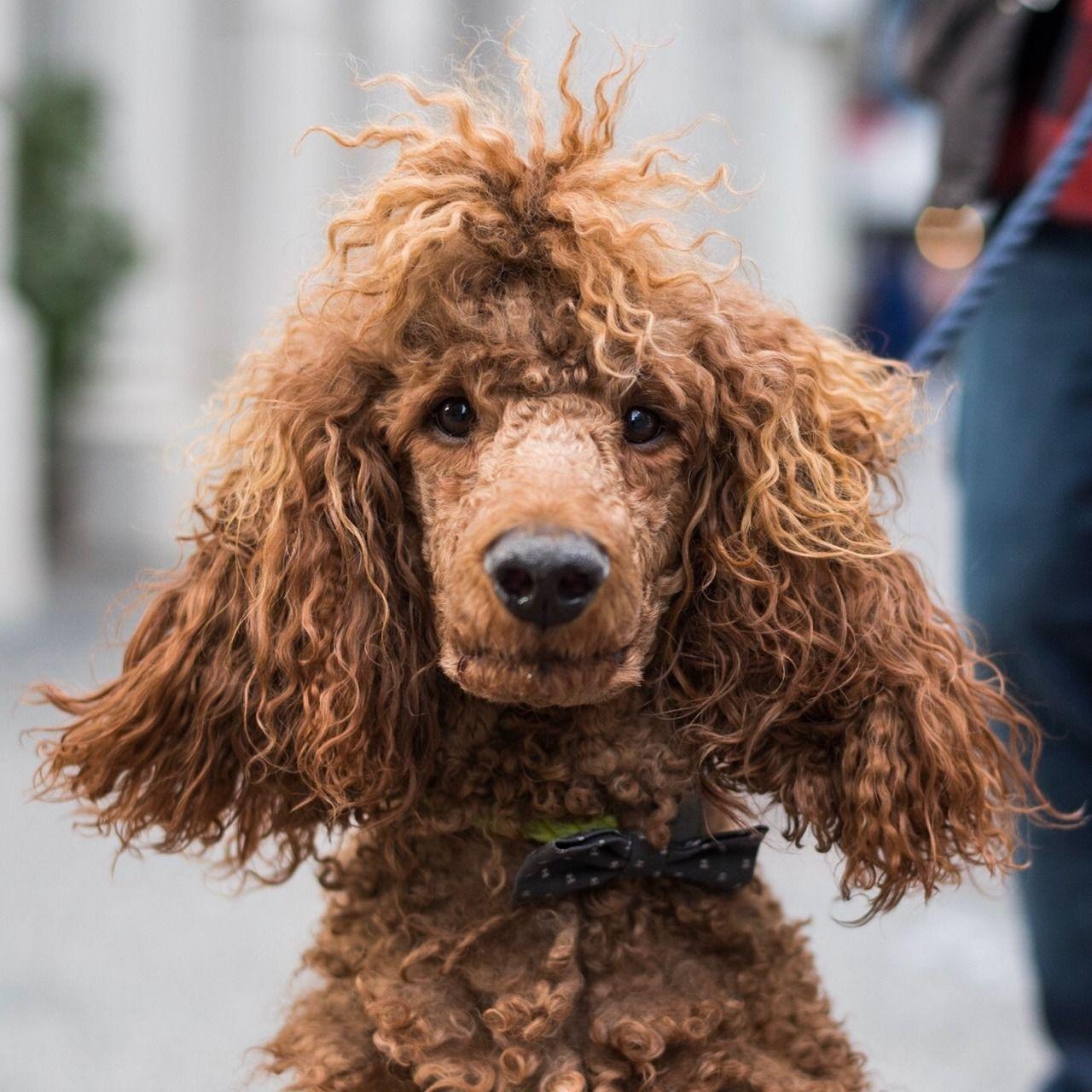 Sasquatch Standard Poodle 3 Y O Broome Mercer St New York