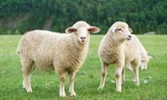 Intermountain West Sheep Forage Blend