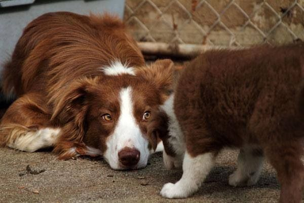 Red Border Collie I Love Dogs Red Border Collie Collie