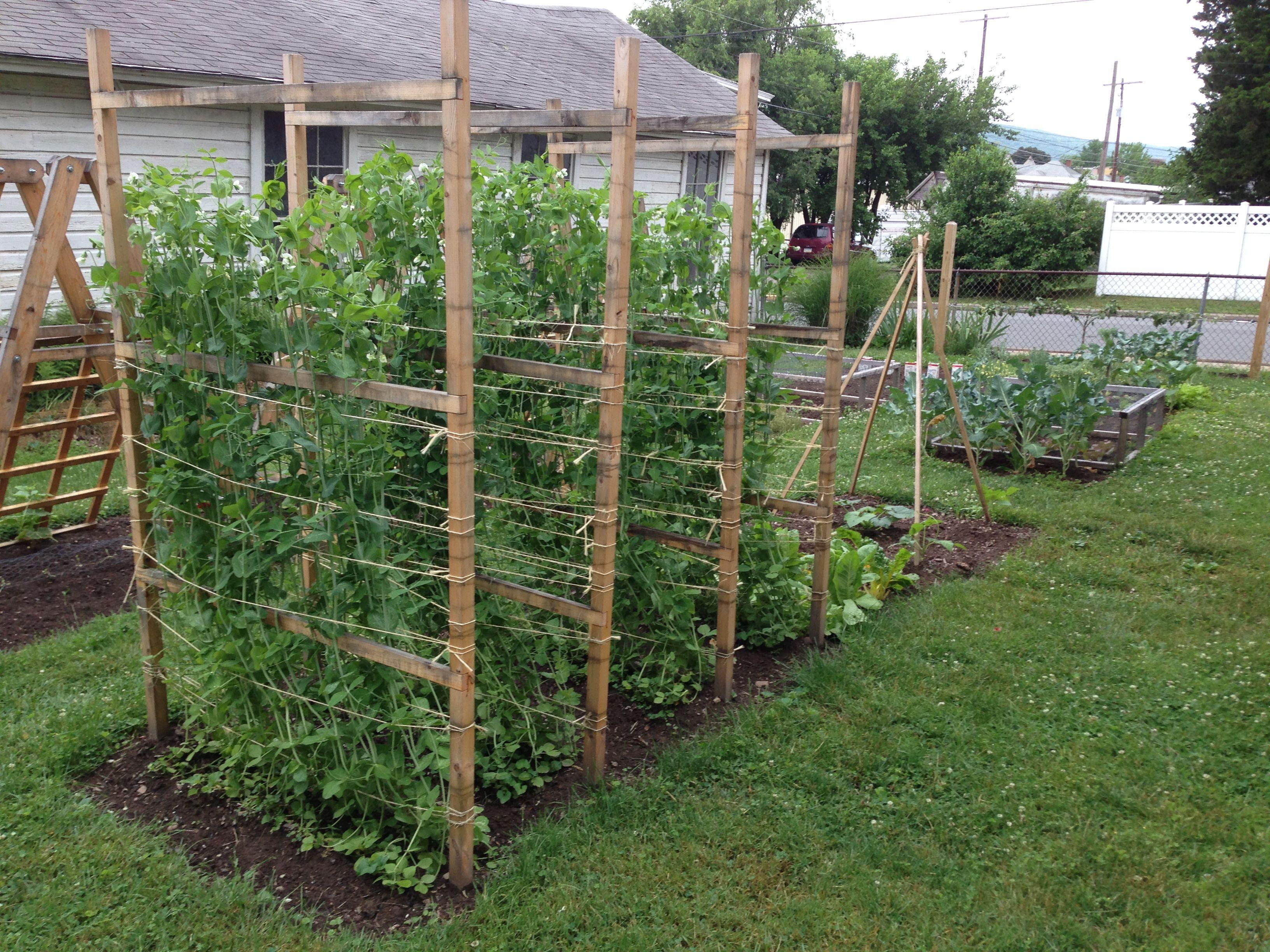 sugar snap peas growing on the pea fences jardin pinterest