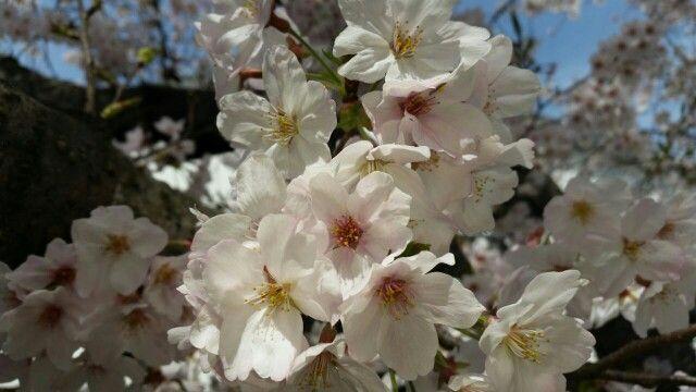 Sakura *__*