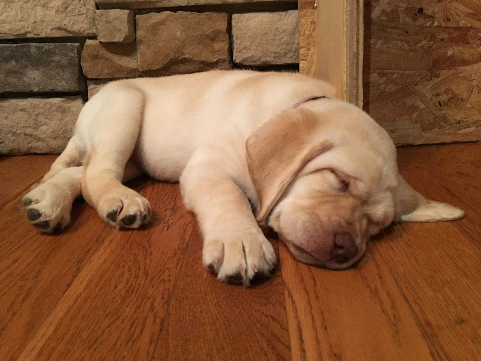 Facts On The Enthusiastic Yellow Lab Dogs Personality