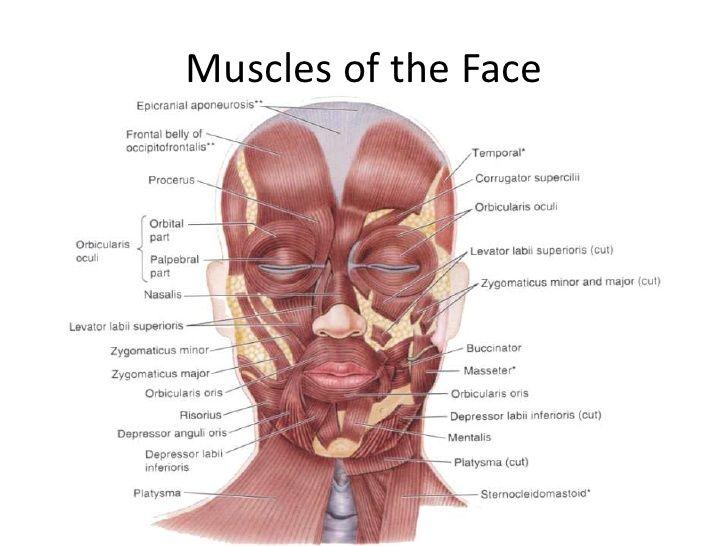 Anatomy Scalp Face 47 728g 728546 Facial Anatomy Pinterest
