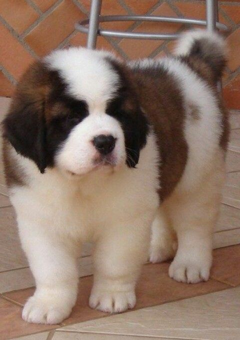 Saint Bernard Cute Dogs Puppies