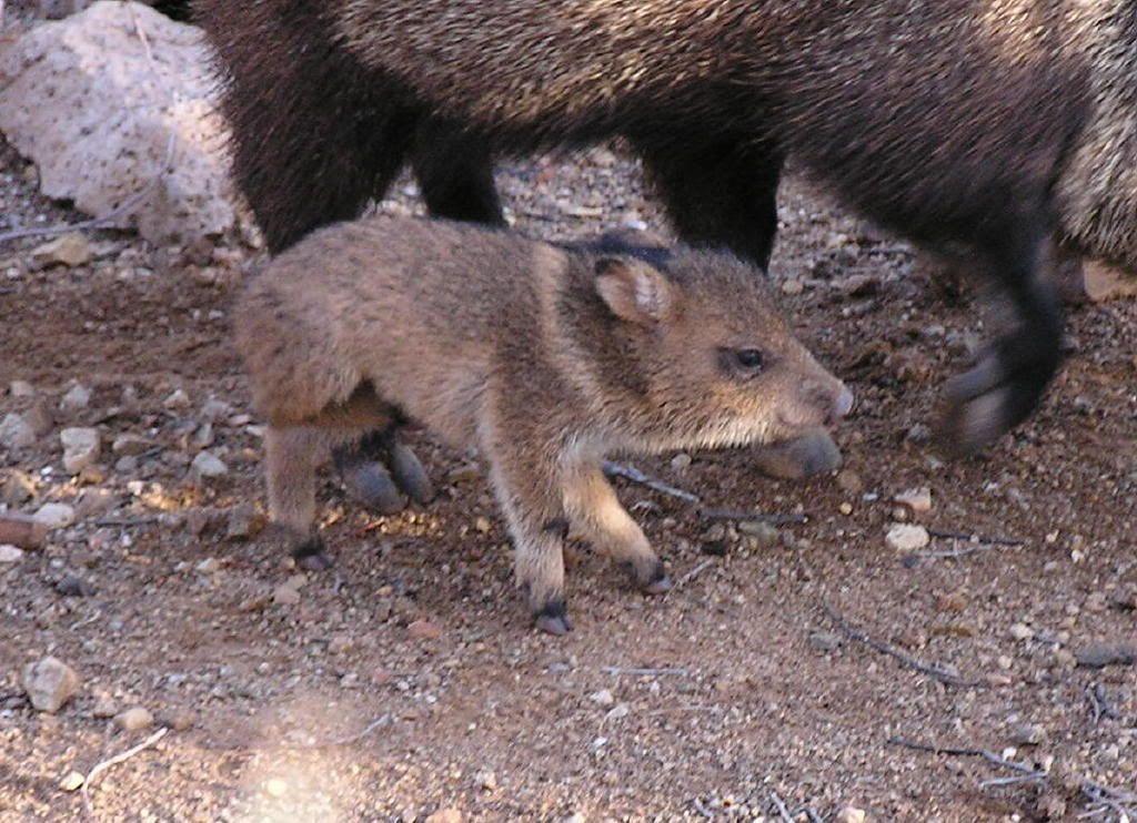 havalina | Javelina Pigs | Javelina, Animals, Collared peccary
