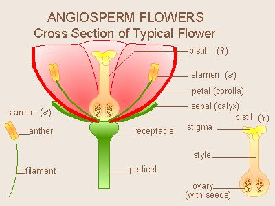 Flower parts diagram homeschool stuff pinterest flower parts diagram ccuart Gallery