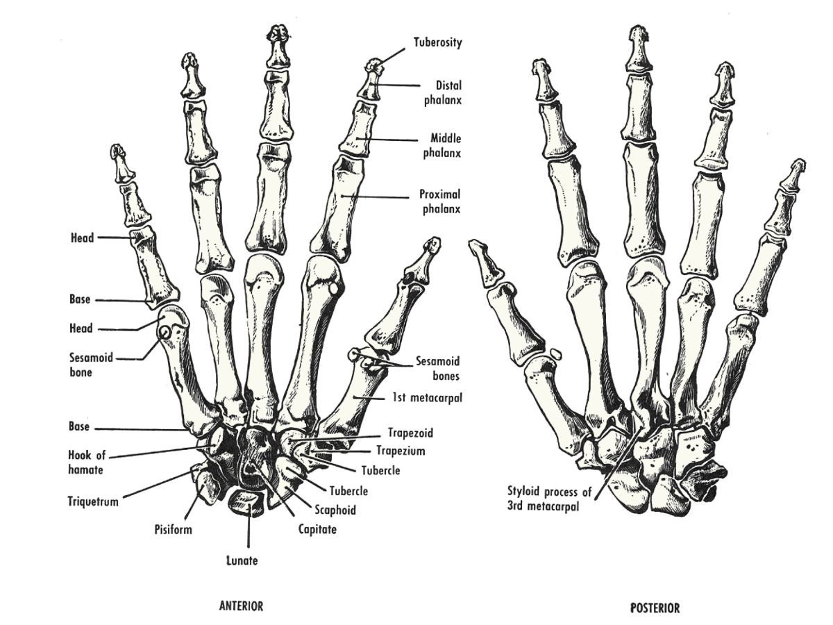 Human hand bones Anatomy references for artists Anatomy