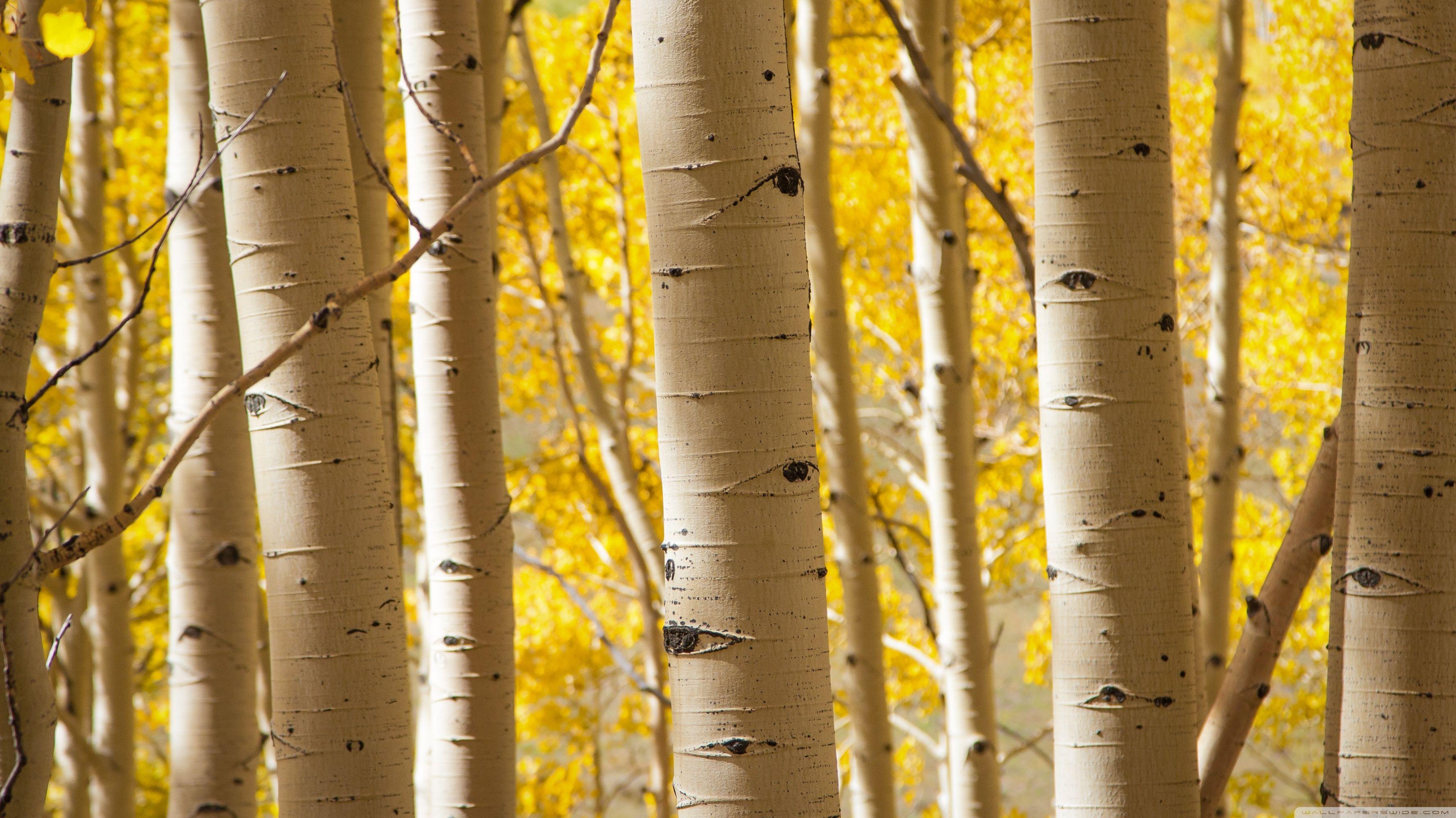Birch Trees HD desktop wallpaper High Definition Fullscreen