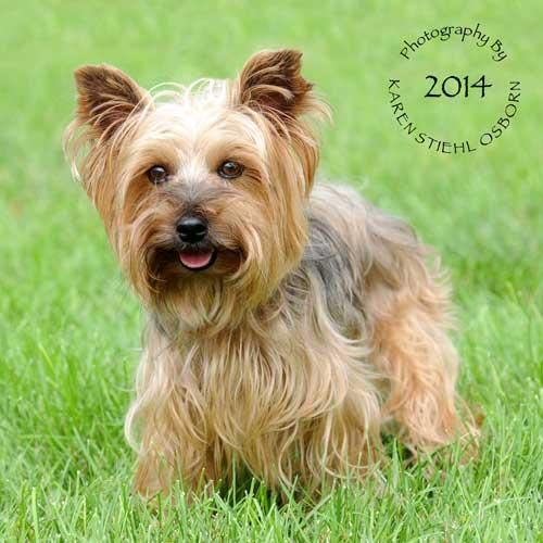 Adopt Yorkie Lilly Adopted 9 22 14 On Yorkie Yorkshire